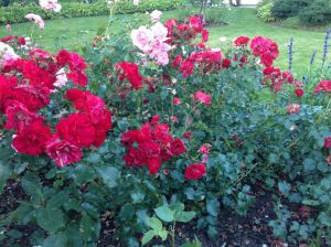 rosebed