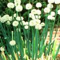 Hành tây - Allium cepa