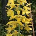 Màng vàng óng ả của luân lan -Eulophia flava
