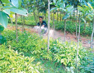 gây trồng rau sắng