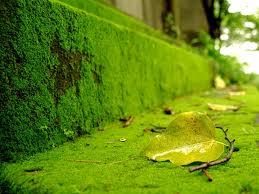 Bức tường rêu