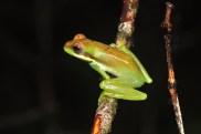 Green blood turquoise bone frog (Chiromantis samkosensis) is endemic to Cambodia's Cardamoms.