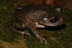 Mouhot's litter frog (Leptobrachium mouhoti) (Easter Cambodia)