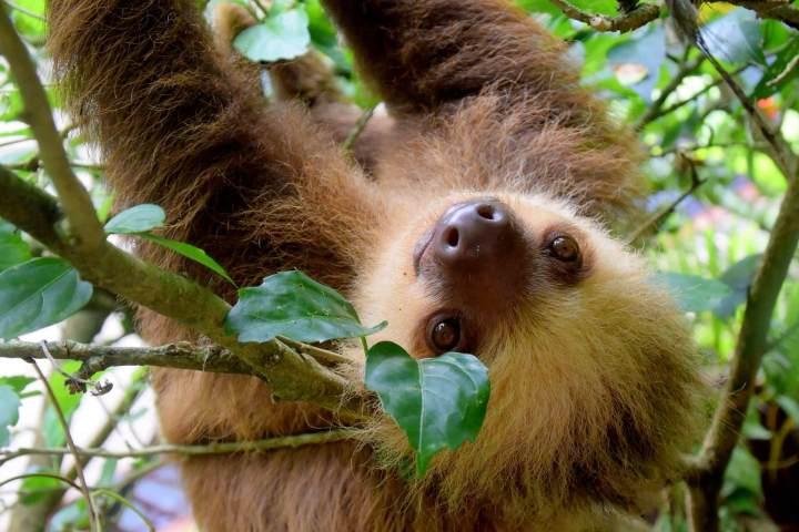 Costa Rica, travel, TropicsGourmet, sloth