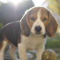 [Idée Cadeau] Un Beagle pour Noël