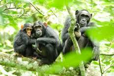 chimpanzees_2