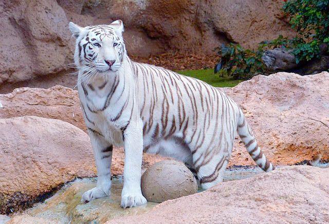 tigre_blanco