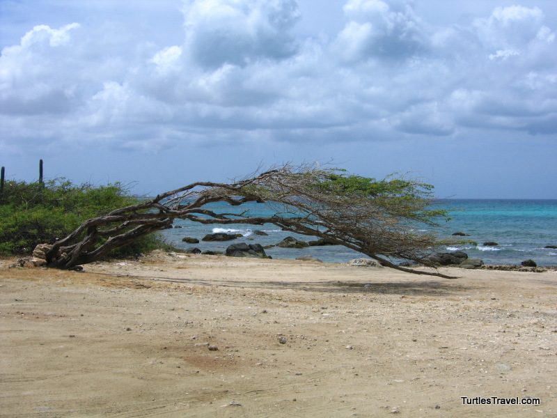 Windswept Divi Tree