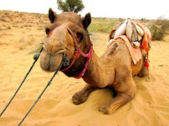 Bikaner Camel
