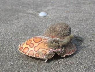 Kiawah Crab Shell