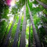 Arashiyama Bamboo