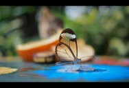 Picture of the Day: The Stunning Glasswinged Butterfly