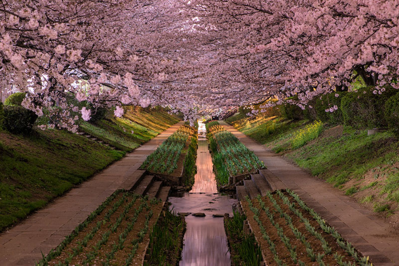 Picture of the Day: Yokohama Cherry Blossoms in Bloom     «TwistedSifter