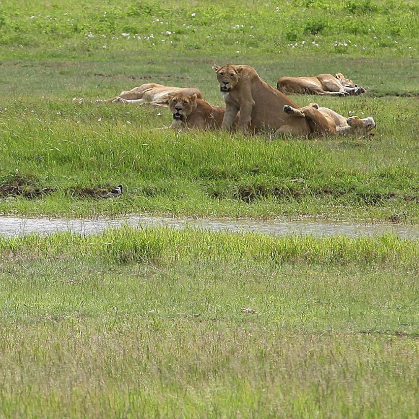 A pride of lions resting but keeping a watchful eyehellip