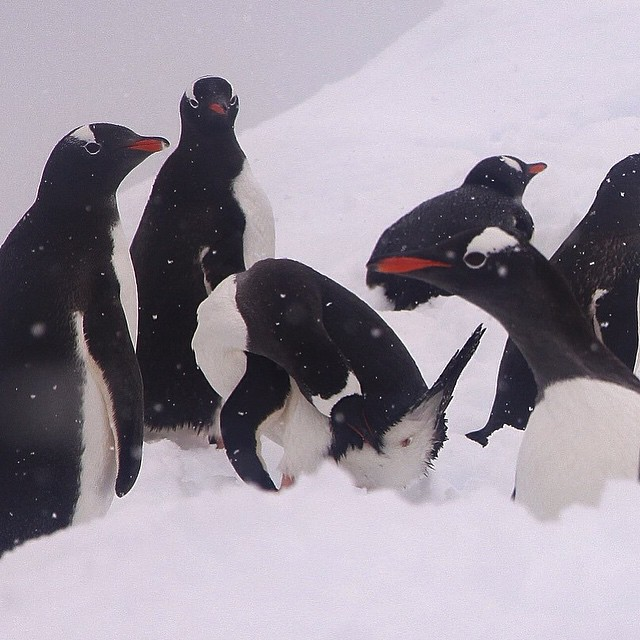 Happy #WorldPenguinDay everyone! And welcome to the penguin party! Formal…