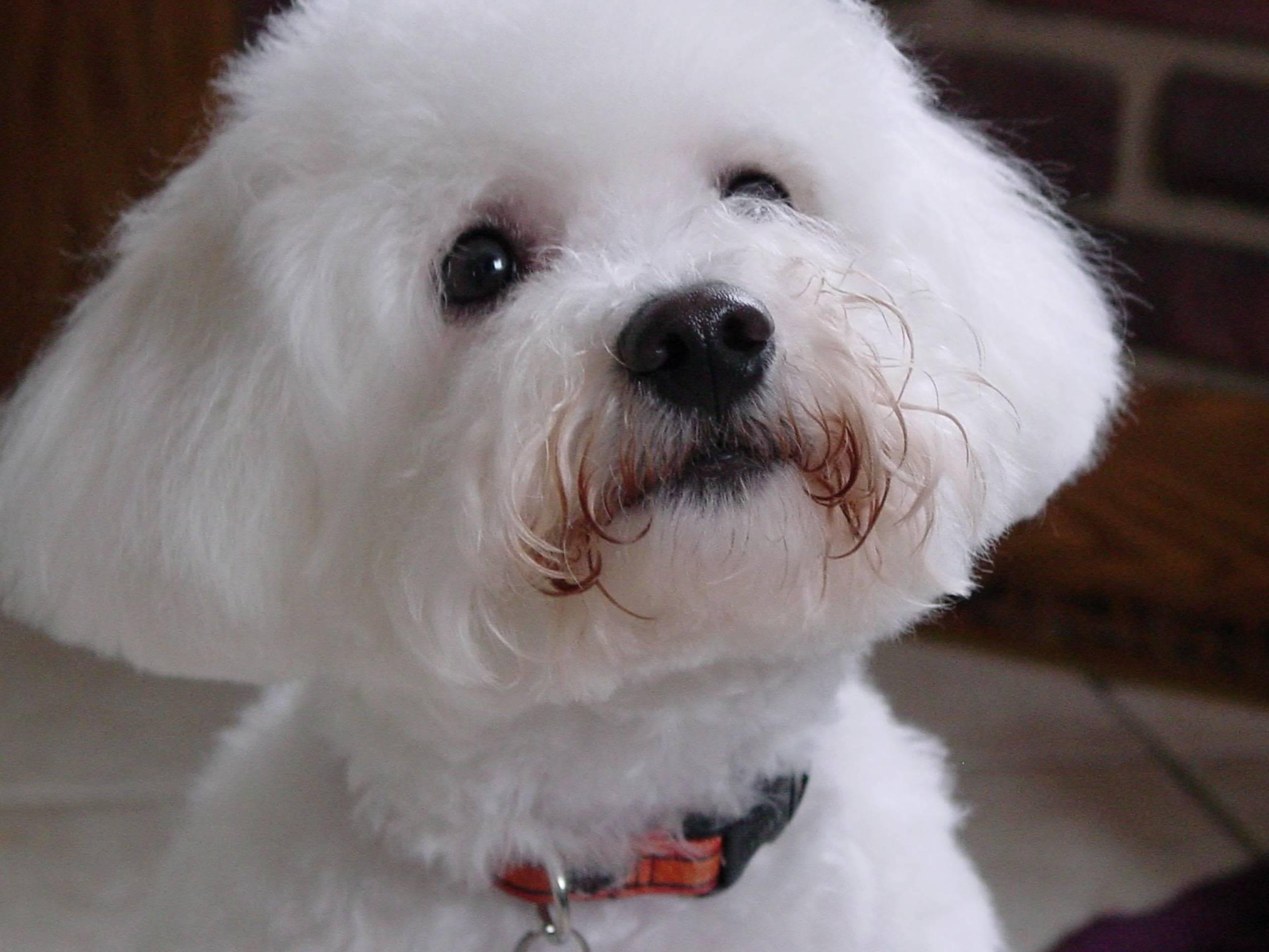 Fullsize Of Small White Dog Breeds