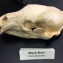 skull of black bear