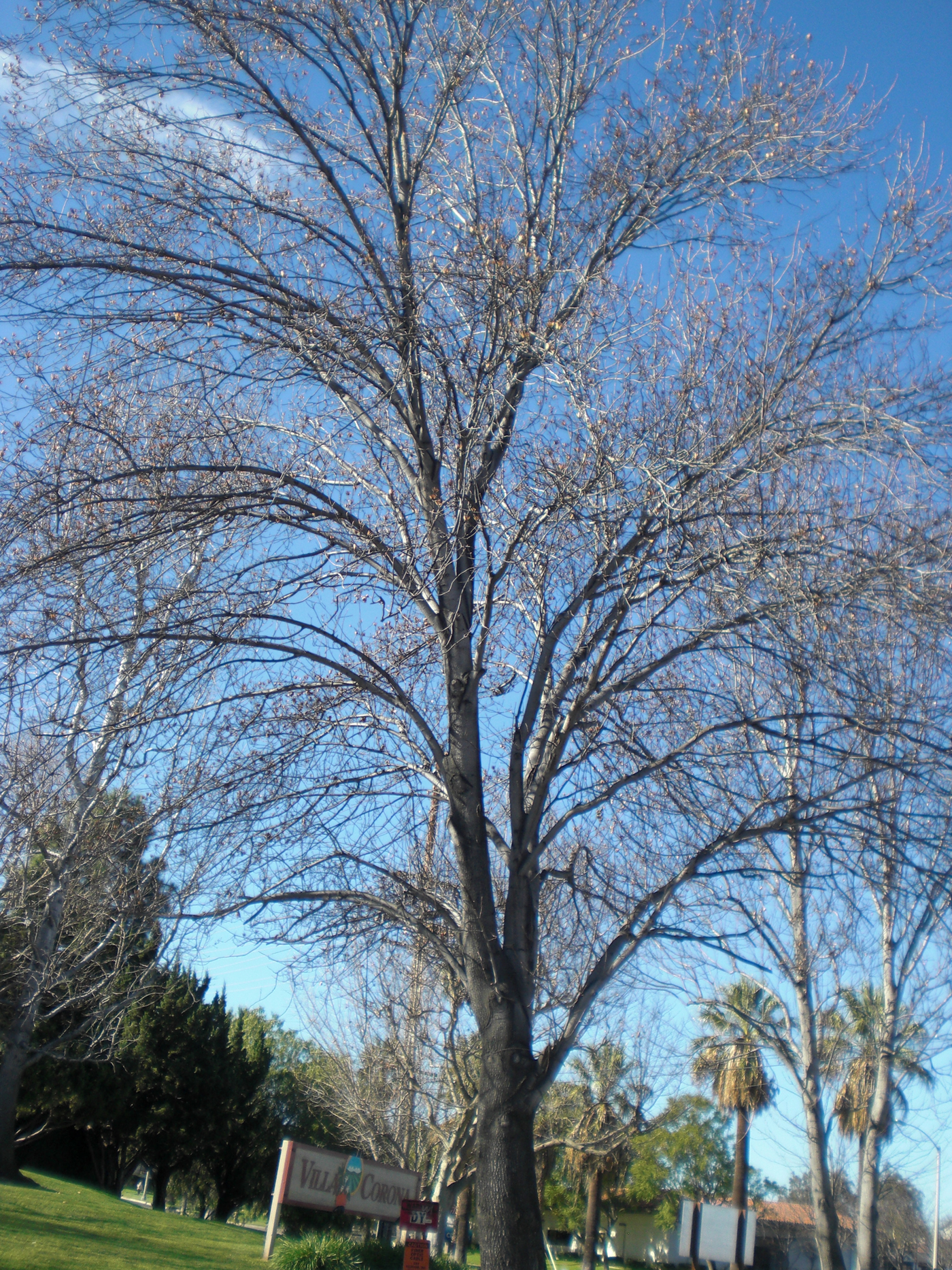 Endearing Plum Trees That Have No Idea How To Behave Because Very Deciduous Trees Weblog At Least Deciduous Trees Have Remained Bare Branched This Those Ornamentalpear houzz-03 Ornamental Pear Tree