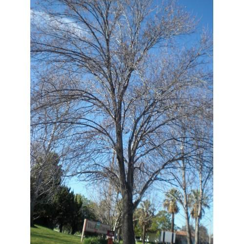 Medium Crop Of Ornamental Pear Tree