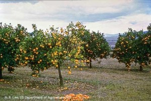 Citrus trees with premature and excessive fruit drop and yellowish foliage, symptoms of huanglongbing. (A. R. Lee, US Department of Agriculture-ARS)