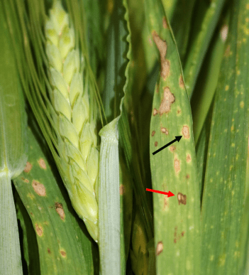 Figure 4. Typical pattern of leaf spot symptoms on a leaf observed in this field. Lens shaped lesions with brown margin, chlorotic halo, and sporulation in tan center (black arrow). Irregular shaped lesion with whitish center and dark brown margin with no chlorotic halo (red arrow). Earlier and later stages of lesion development are apparent on these leaves.