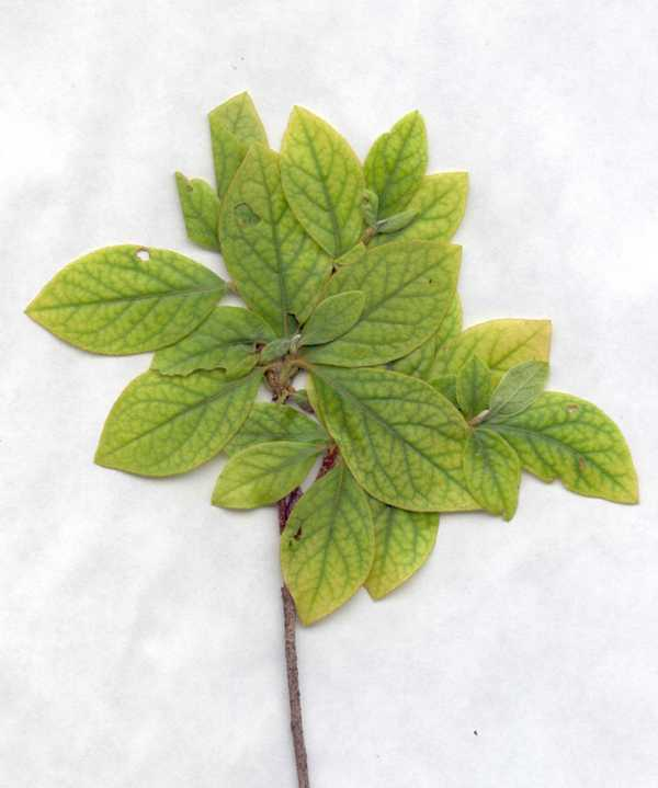 Azaleas' Leaves Turning Yellow?