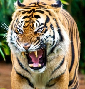 attacking-tiger-289x300[1]