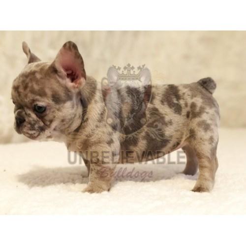 Medium Crop Of Teacup French Bulldog
