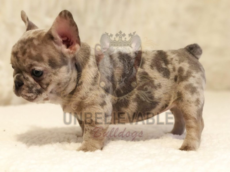 Large Of Teacup French Bulldog