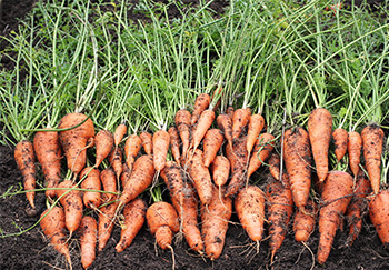 uncle matts carrots