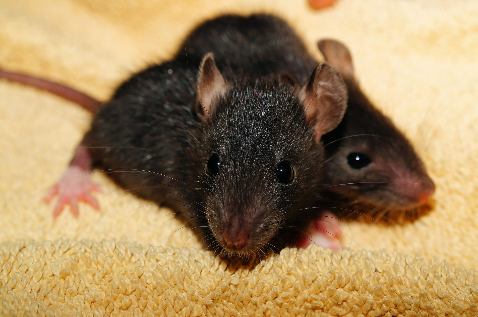 Understanding pet fancy rats your all in one source for for Mice in between floors