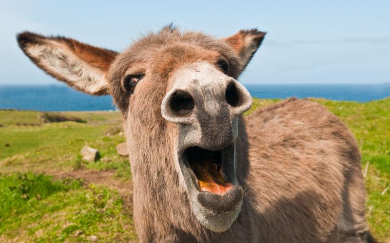 Donkey_Braying_25 2