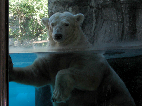 The polar bear at the Central Park Zoo