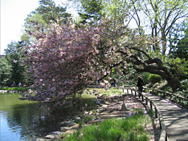 Cherry tree in the water at the Brooklyn Botanic Garden