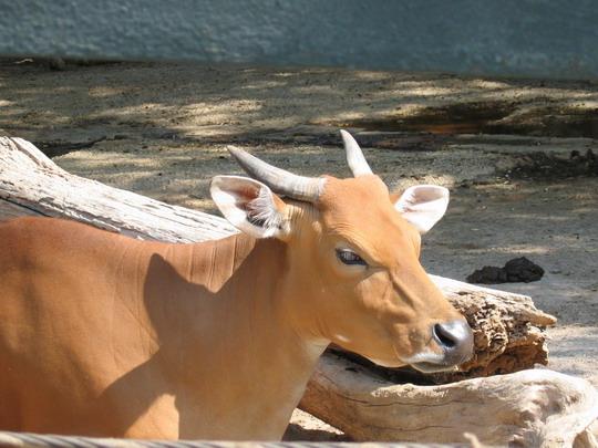 cow or water buffalo