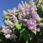 2016-05-03 Lilac Bush blue sky cropped
