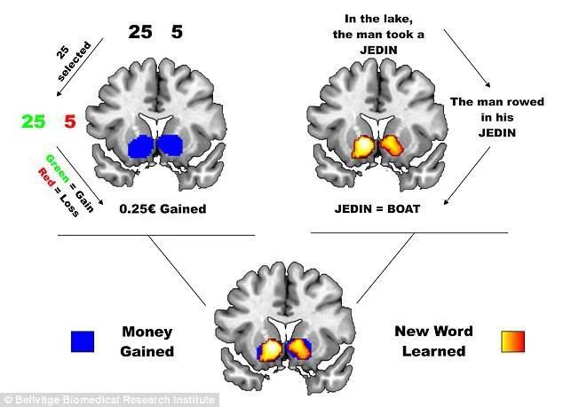 aree delcervello attivate imparando una lingua