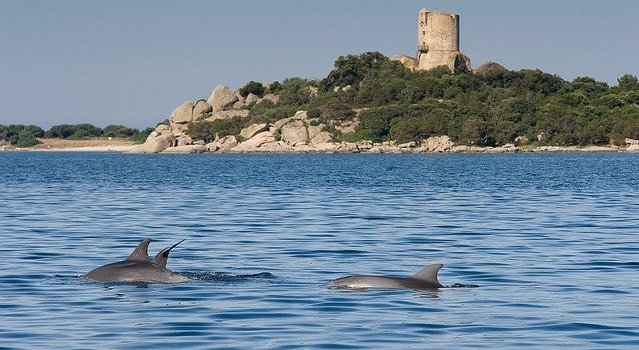 famille de grands dauphins face à la tour de pianottoli. crédit photo oec