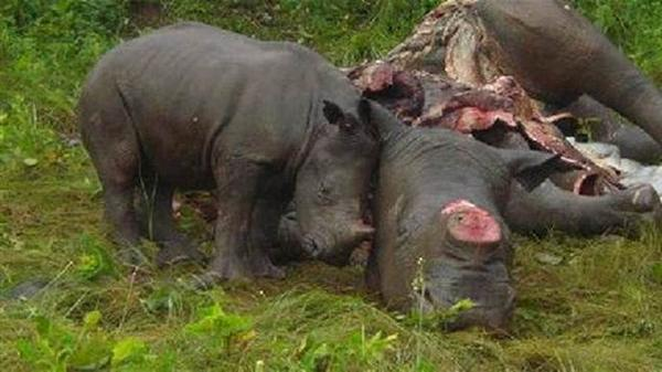 corne de rhinocéros