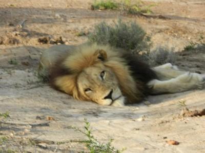 Le roi lion...royal forcément