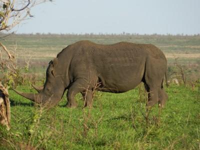 Le rhino en sursis au parc Kruger
