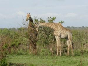Petit déjeuner végétal d'un couple de girafes