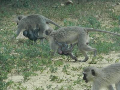 Floppée de naissances chez les singes vervet