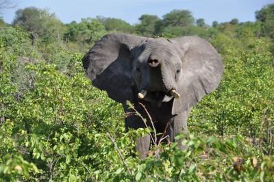 Un éléphanteau aussi ça trompe énormément