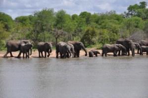 Bain collectif pour ce troupeau d'éléphants
