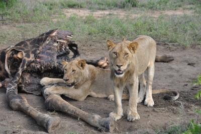 Plusieurs jours de nourriture pour une famille lion