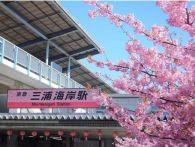 【三浦海岸】河津桜開花情報2015 見ごろと駐車場&裏ワザ
