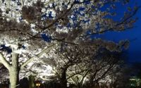 長崎の桜おすすめ穴場スポット2015