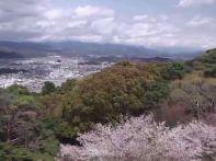 高知 桜の見頃はいつ?花見オススメスポット2015開花予想