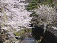 岐阜県の桜の開花予想2015!オススメスポットをご紹介